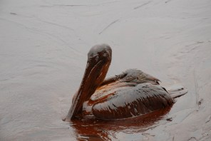 Louisiana Department of Wildlife and Fisheries take oil-covered pelicans to be cleaned and treated for injuries. The brown pelican is Louisiana's state bird, only recently removed from the endangered species list. (Photograph courtesy of Gov. Bobby Jindal's office, Louisiana GOHSEP, Wikipedia)