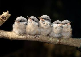 Brown-headed nuthatches. (Alabama Wildlife Center)