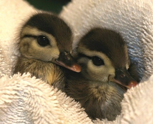 Baby wood ducks. (Alabama Wildlife Center)