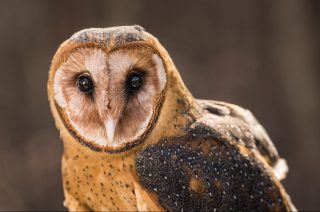 Barn owl, one of the education ambassadors at the AWC. (Phil Free)