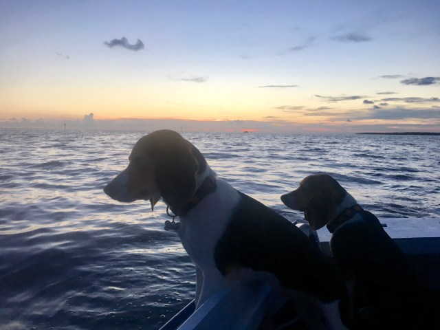 Beagles Cap'n Jack Sparrow and Scout love the water. (Photo/Michelle Segrest)