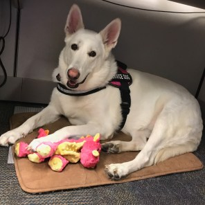 Eirwen successfully transitioned from faithful pet to service dog. (Brittany Faush)