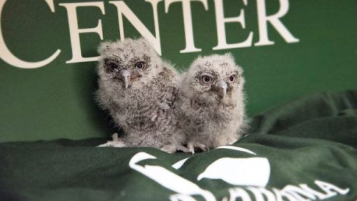 Baby owls are fascinating. (Contributed)