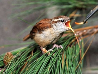 A wren at feeding time. (Contributed)