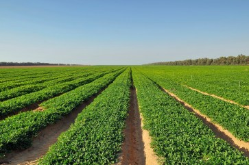 Peanuts are a major crop for Alabama. (Getty Images)
