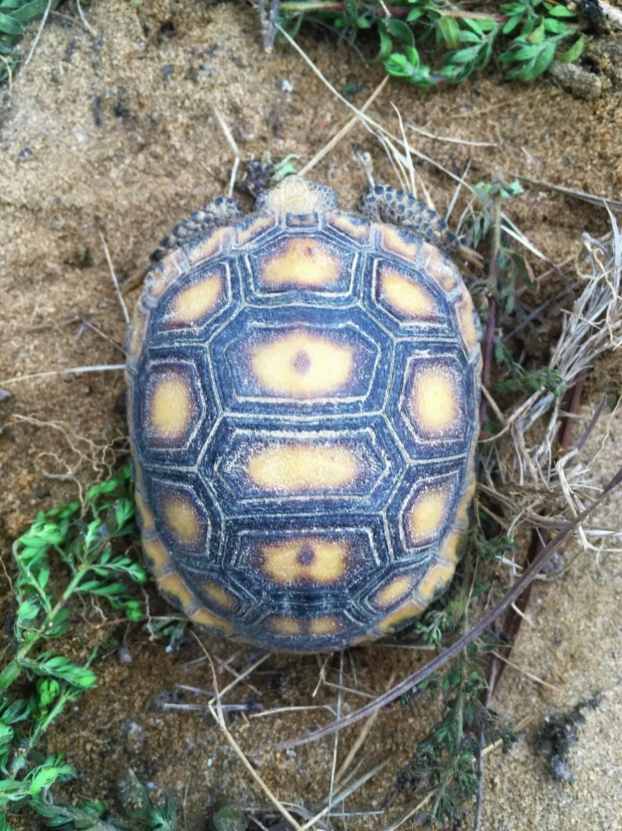 Gopher tortoises are a threatened species. (Alabama Power Company)