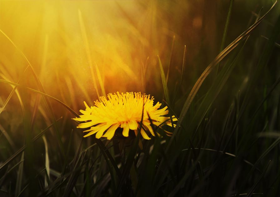 Dandelions are edible and can be prepared like kale. (Natalia Luchanko)
