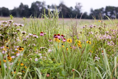 Once they grow in, the pollinator plots along Alabama Power's lakes should look similar to this. (Roundstone Native Seed)