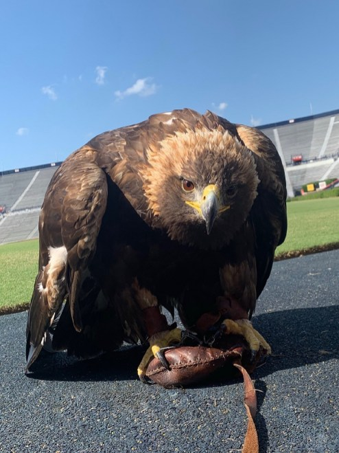 Online auctions for jesses and lures used by Auburn's eagles during gameday flights begin with the first home football game against Tulane Sept. 7. (Auburn University)