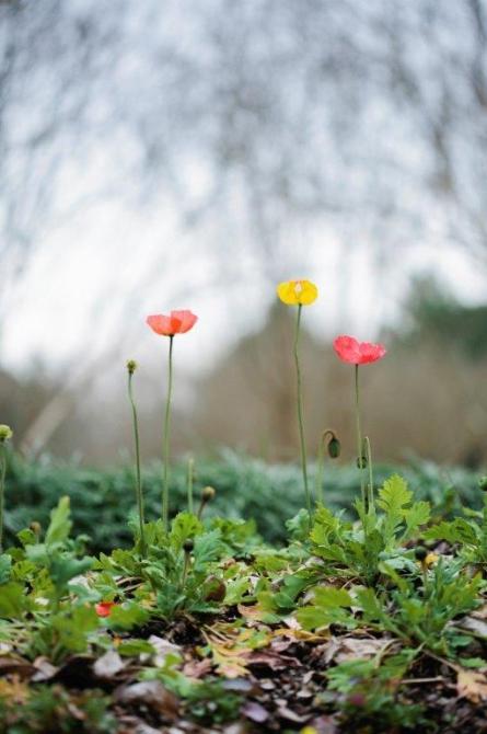 Iceland poppies in Forman Garden at Birmingham Botanical Gardens. (Birmingham Botanical Gardens)
