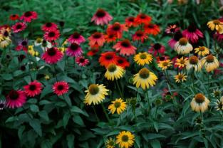 Coneflowers at Forman Garden at Birmingham Botanical Gardens. (Birmingham Botanical Gardens)