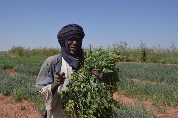 A man harvests moringa leaves, known for their nutritional and medicinal properties, at the site of the Irhazer project funded by France near Agadez, in the northern desert of Niger. (Boureima Hama/AFP via Getty Images)