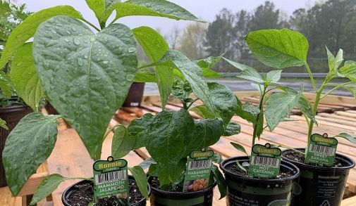 Grow tomatoes and peppers for a salsa garden. (Donna Cope/Alabama NewsCenter)