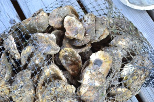 More than 940,000 oysters have been grown since the program began in 2001. (contributed)