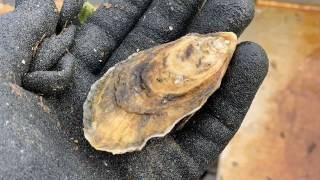 Researchers helping Alabama oyster farmers survive COVID-19 setbacks