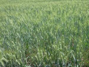 agrár mezőgazdasági termény biztosítás búza