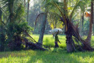 Travaux agricoles dans une rizière,Bali