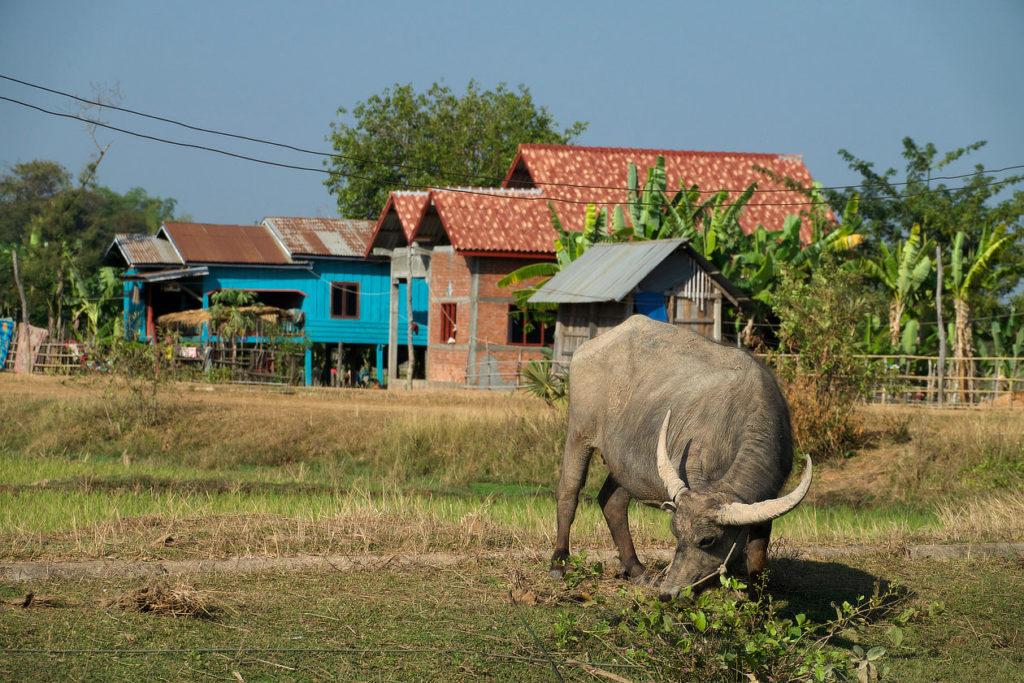 Buffle devant un hameau