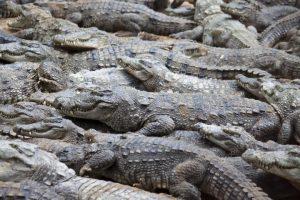 Зоопарктан 78 крокодил качып чыккан