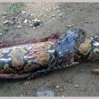 ВИДЕО: Күрүч талаасынан питонду жуткан кобра табылып, элдин оозун ачырды
