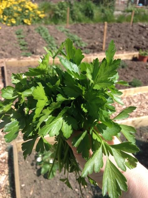 Allotment parsley