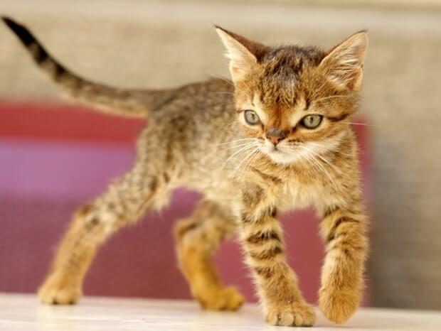 متلازمة داون قطة