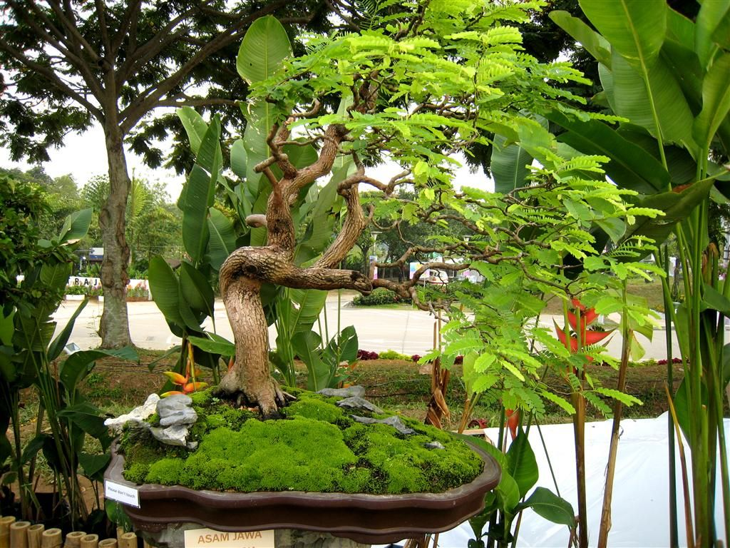 Membentuk bonsai asam