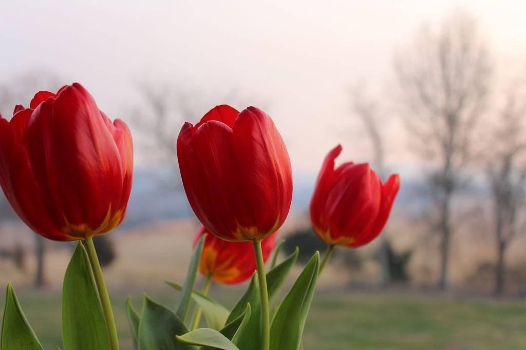Batang bunga tulip