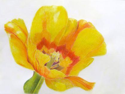 Yellow Tulip: Colored Pencil