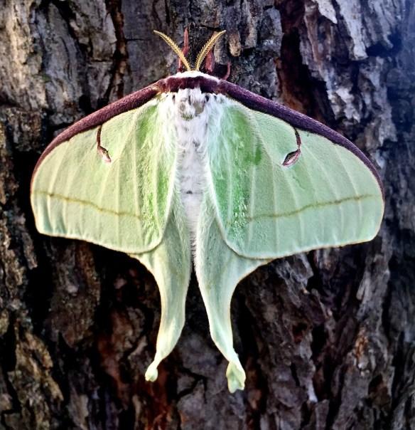 Luna_Moth