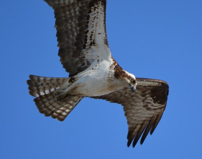 Female osprey after leaving nest and headed to Enterprise Park to gather nesting material.