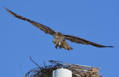 Female osprey leaving nest - 2