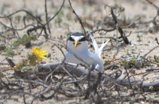 Least tern on nest. Vegetation is not part of the nest.