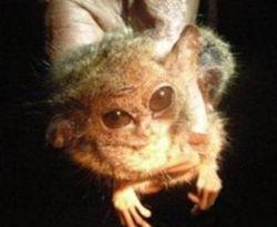 Tersier Pygmy, primata terkecil