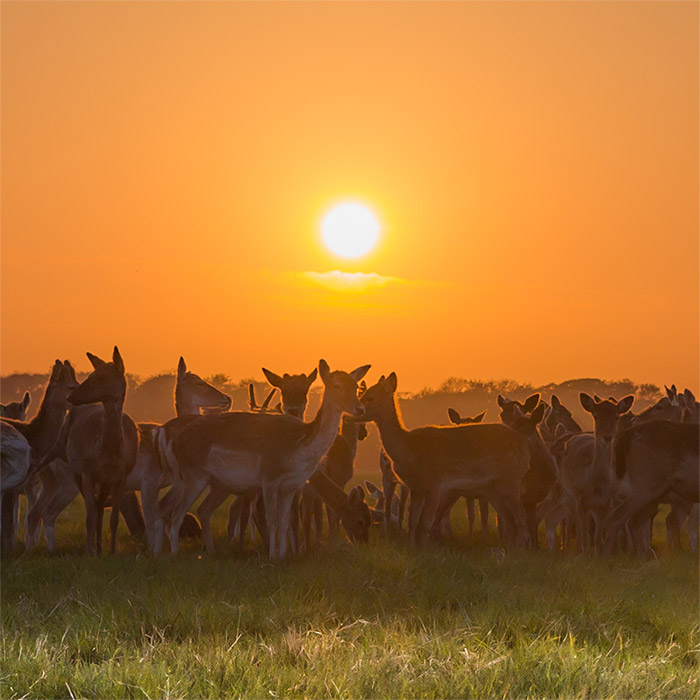 Phoenix Park Deer at Sunset