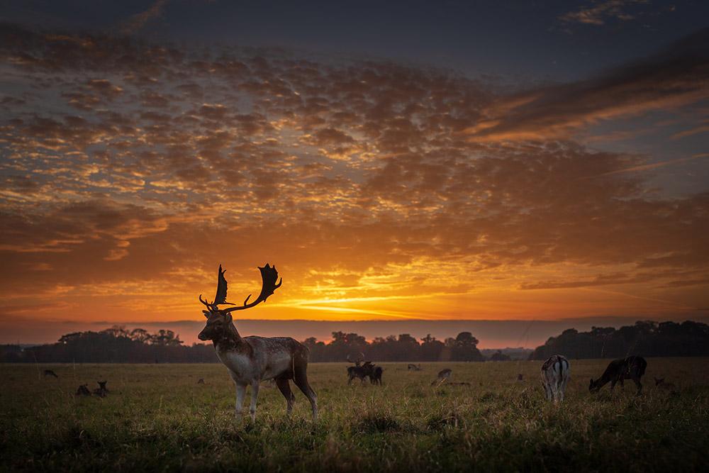Deer at sunset in Phoenix Park, Dublin - Photo Print