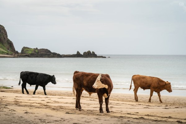 Cattle on the beach - White Park Bay - Photographic Print