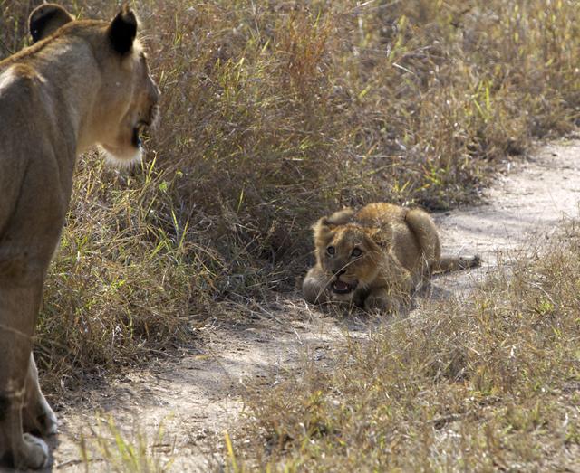 AFRICA_lioncub