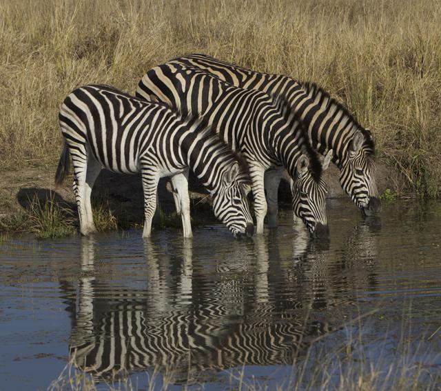 zebra at water