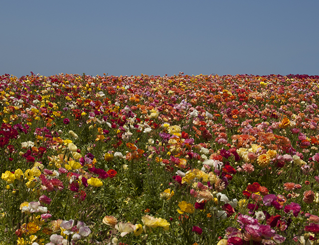 flower fields4