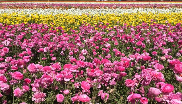 sd flower fields 3