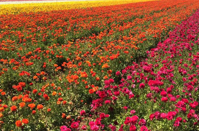 sd flower fields