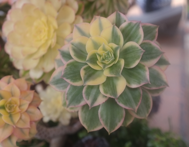 sd succulent