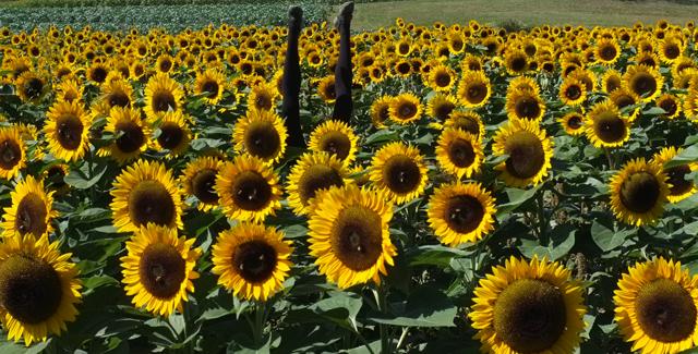 Handstand Sunflowers