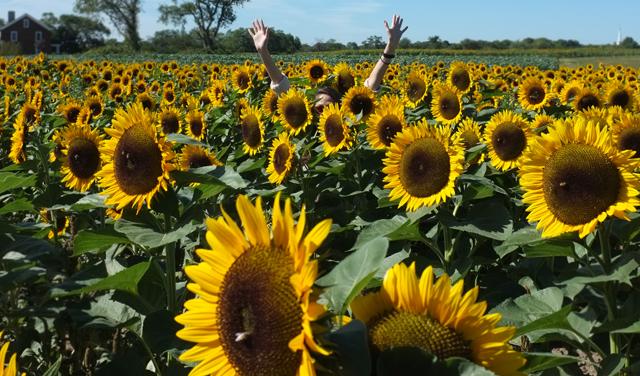 Sunflower Fields 2