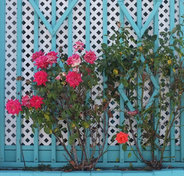 Wildwood Roses