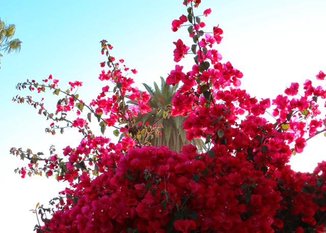 Bouiganvillea Palm Tree