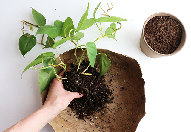 Potting Philodendron