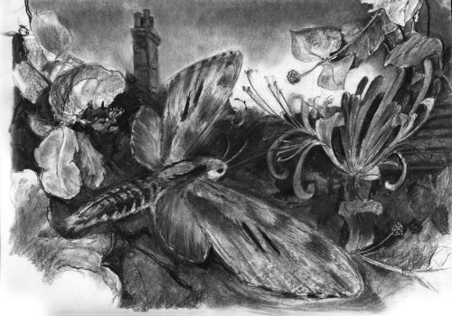 pine hawk moth, charcoal