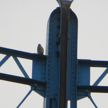 Peregrine at Bell Green Gas Holders 180408 no2